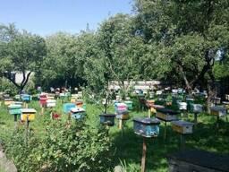 Предлагаю чистопородные пчеломатки Карпатской породы