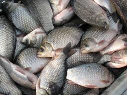 Покупаем на постоянной основе речную, ставковую рыбу. Возмо