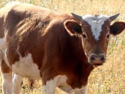 Премикс 1% для бычков финиш