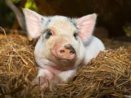 Премикс для свиней Старт Амино 4% от 0-40кг