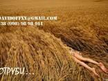 Продаем пшеничные отруби оптом с производства - фото 1