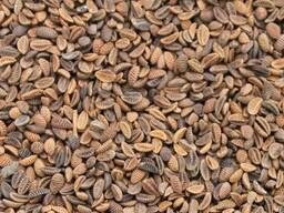 Продаем семена фацелия