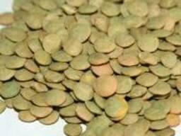 """Продаем высококачественные семена чечевицы зеленая сорт """"Лин"""