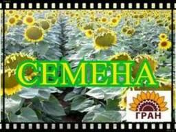 Продаємо Гранд SU посівний матеріал соняшнику (50г\гранстару