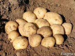 Продается качественная семенная картошка. Отправляем почтой.