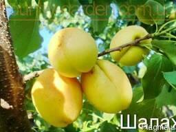 Продам 2-х летние саженцы Абрикоса и много других растений
