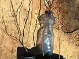 Продам 2-х летние саженцы голубики - фото 4