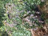 Продам 2-х летние саженцы голубики - фото 8