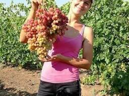 Продам 3- 4-х глазковые черенки винограда