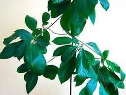Продам авакадо (комнатное растение) и много других растений