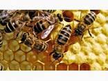 Продам бджолопакети - фото 1