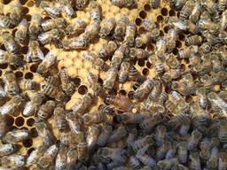 Продам Бджолопакети Бджоломатки Бджолосім'ї Бакфаст