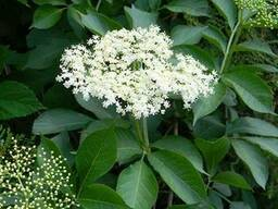 Продам Бузины цвет