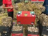 Продам чеснок,семена - фото 1