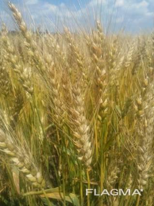 Продам Чорнява (пшеница)