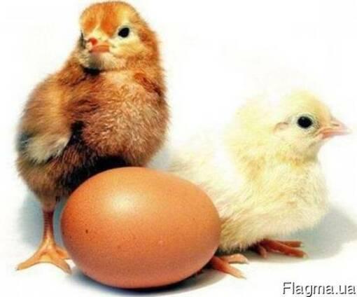 Продам цыплят несушек Браун Ник