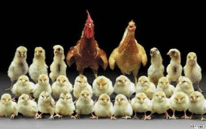 Продам цыплят, утят, индюшат. Суточные и подрощеные.