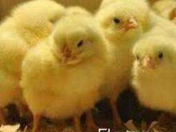 Продам цыплята бройлеры, мастер грей, редбро, голошейка