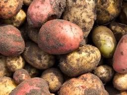 Продам домашню картоплю. Безкоштовна доставка. Львів