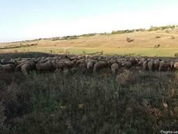 Продам фермерское хозяйство по выращиванию овец. .