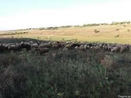 Продам фермерское хозяйство по выращиванию овец. . - фото 2