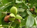 Продам фермерское хозяйство по выращиванию орехов. - фото 2