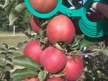 Гарні яблука з саду оптом - фото 1