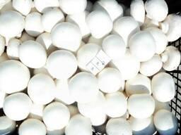 Продам грибы шампиньоны свежие опт от производителя
