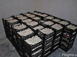 Продам грыбы шампиньоны оптом и мелким оптом