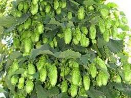 Продам Хмель и много других растений (опт от 1000 грн)