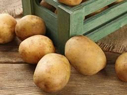 Продам картофель 2 - го сорта, крупный, 100 тонн