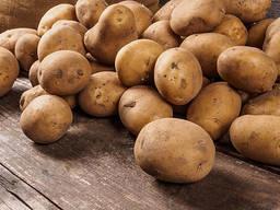 Продам картофель оптом сорт Лабела, красная сухая гниль
