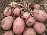Продам картофель семенной ДО 20 Сортов постоянно в наличии - фото 2