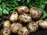 Купить картофель семенной Ривьера, Королева Анна, Орла - фото 1