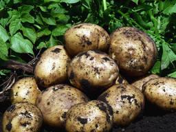 Купить картофель семенной Ривьера, Королева Анна, Орла