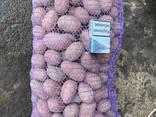Продам картофель средний отл качества сорт лабелла опт 7.2 грн - фото 1