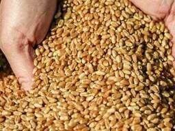 Продам классовую пшеницу