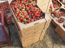 Продам клубнику Альба 10 пенеток по 500 гра по 60 грн за 1 кгмм