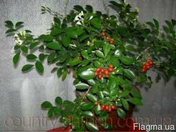 Продам комнатное растение Мурайю - траву императора