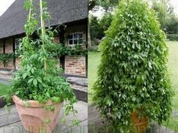 Продам комнатное растение Яогулан (траву бессмертия)