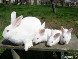 """Продам кроликов на развод """" Белый панон """" . Лучшая мясная по"""