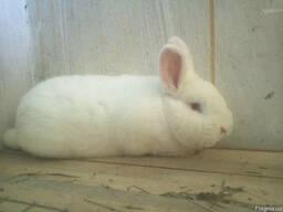 Продам кроликов Новозеландский белый НЗБ