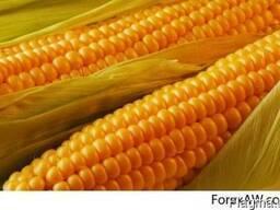 Продам кукурузу фуражную