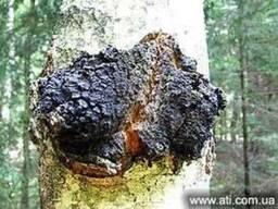 Продам(купить)чага,березовый гриб