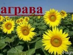 Продам/куплю насіння соняшника Заграва