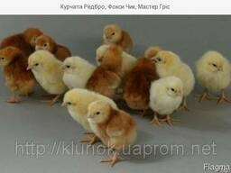 Продам курчата