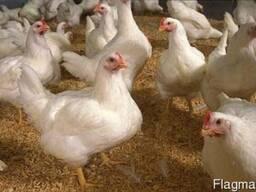 Куплю курицу Живым весом