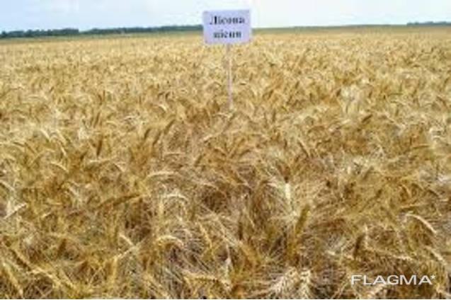 Продам Лісова Пісня (пшеница)