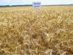 Продам Лісова Пісня (пшеница) - photo 1