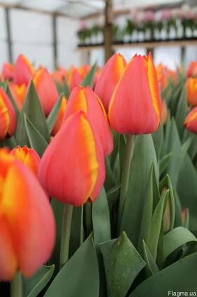 Продам луковицы голландских тюльпанов Форготтен Дримс